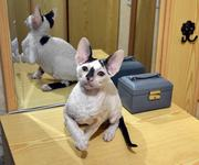 Очаровательные котята Корниш-рекс