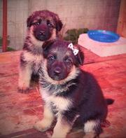 продам щенков немецкой овчарки
