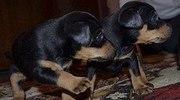 продам щенков немецкого ягтерера