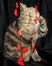 Кошка экзотическая короткошерстная