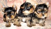 Продам мини щенков йоркширского терьера